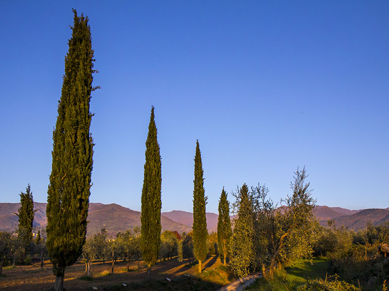 cipressi_in_toscana